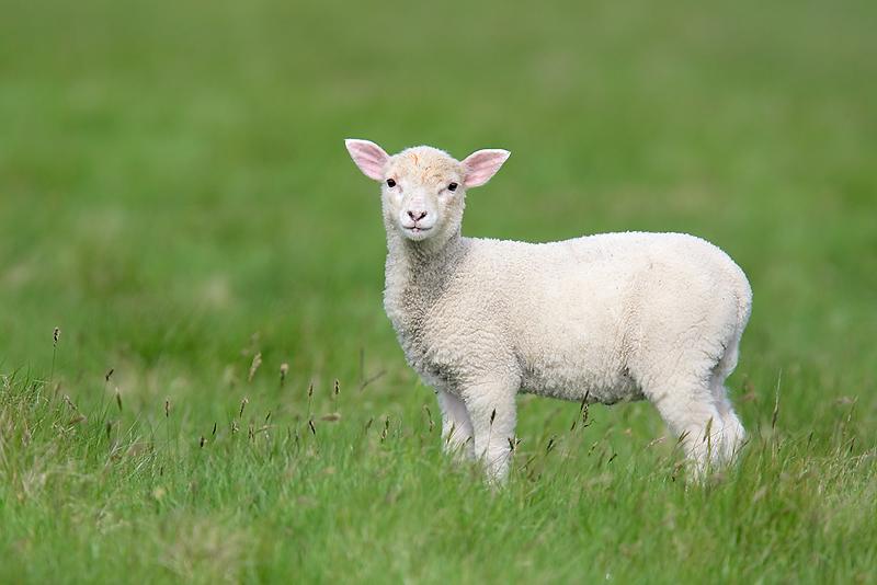 271885-lamb.jpg